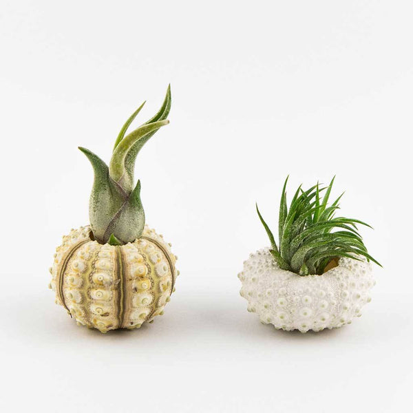 Gifts - Premium Urchin Planter Pair