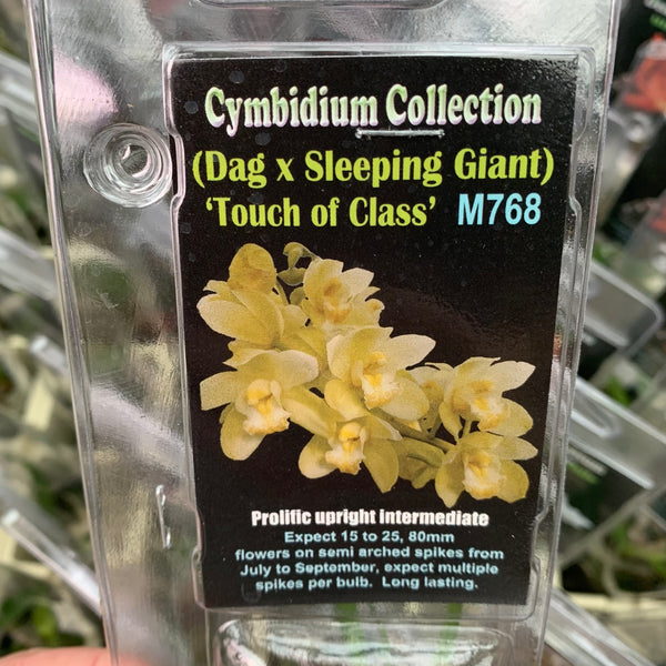 Orchid - Cymbidium 'Dag x Sleeping Giant - Touch of Class'