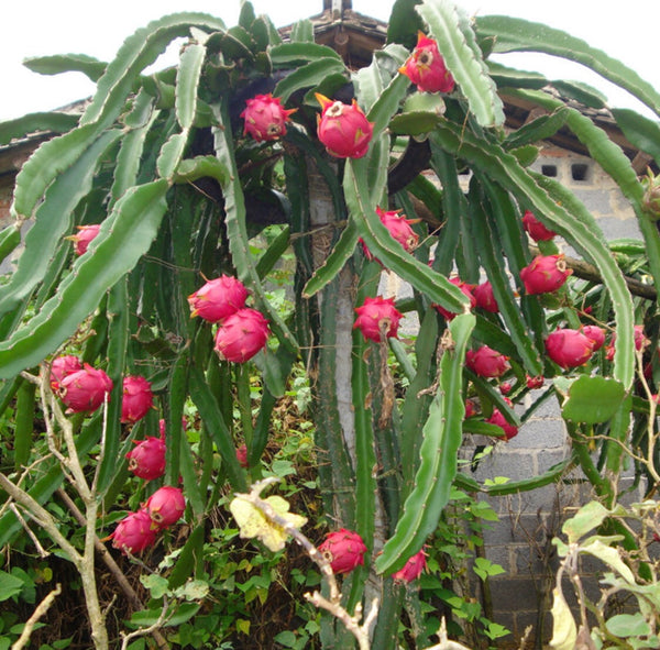 Dragon Fruit 'Red'