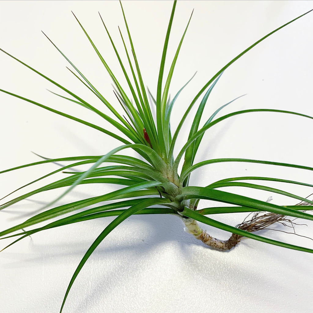 Tillandsia - Caulescens