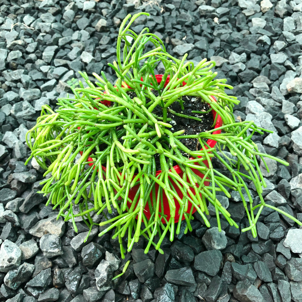 Rhipsalis Floccosa - R55 NEW