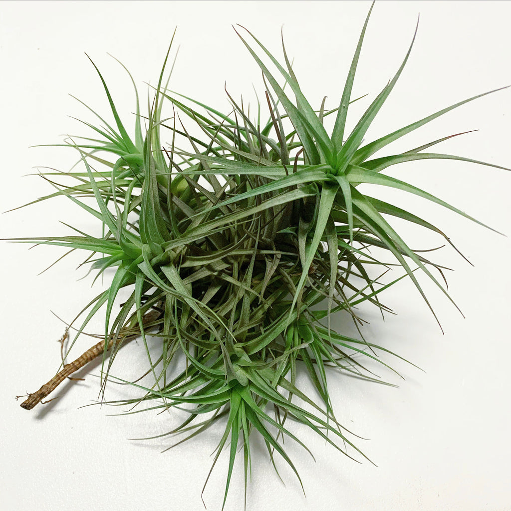 Tillandsia - Bergeri (Wholesale)