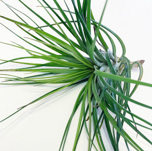 Tillandsia - Cotton Candy 'Green Form'