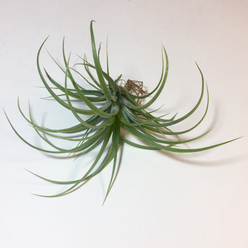 Stricta 'Hard Leaf'