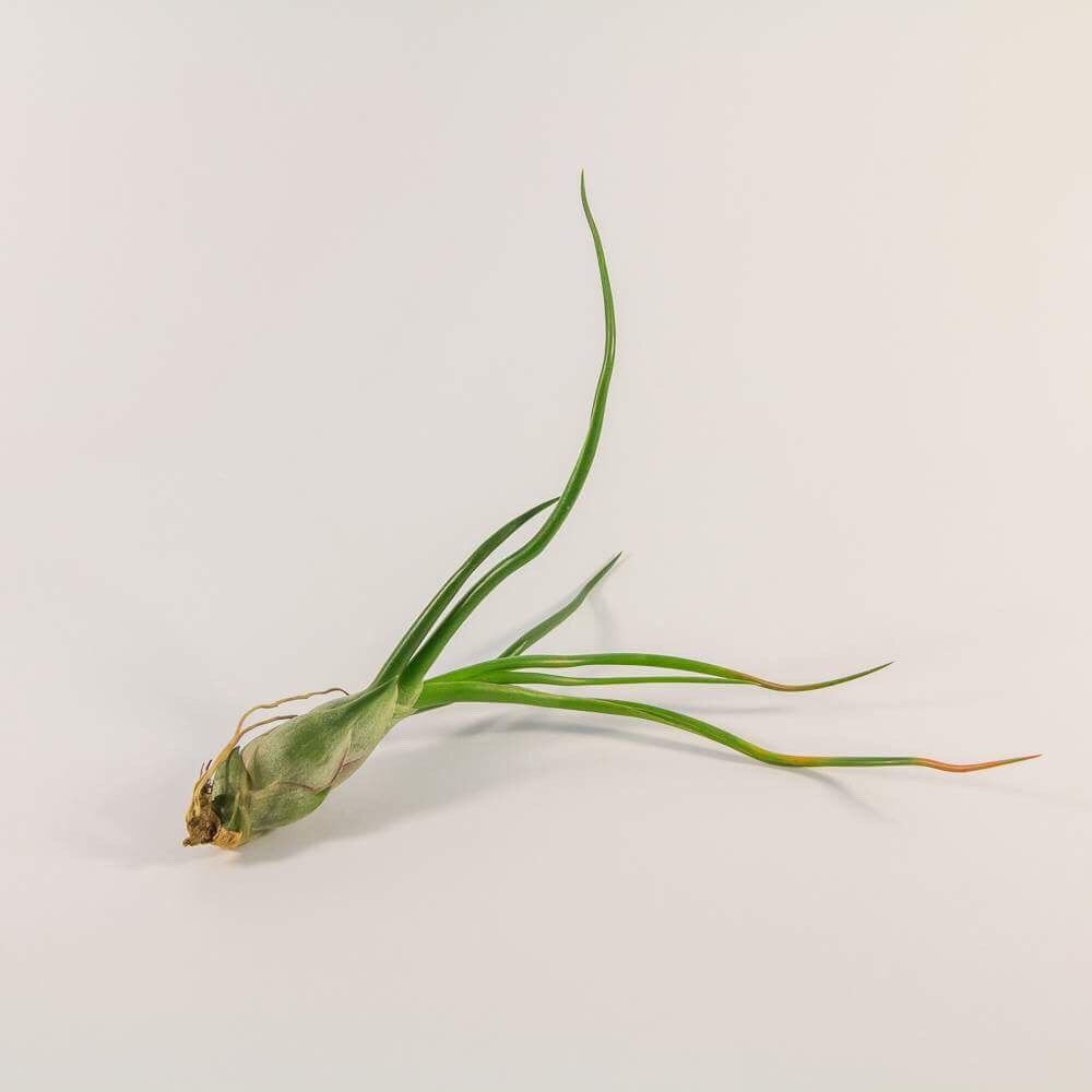 Tillandsia - Bulbosa (Wholesale)