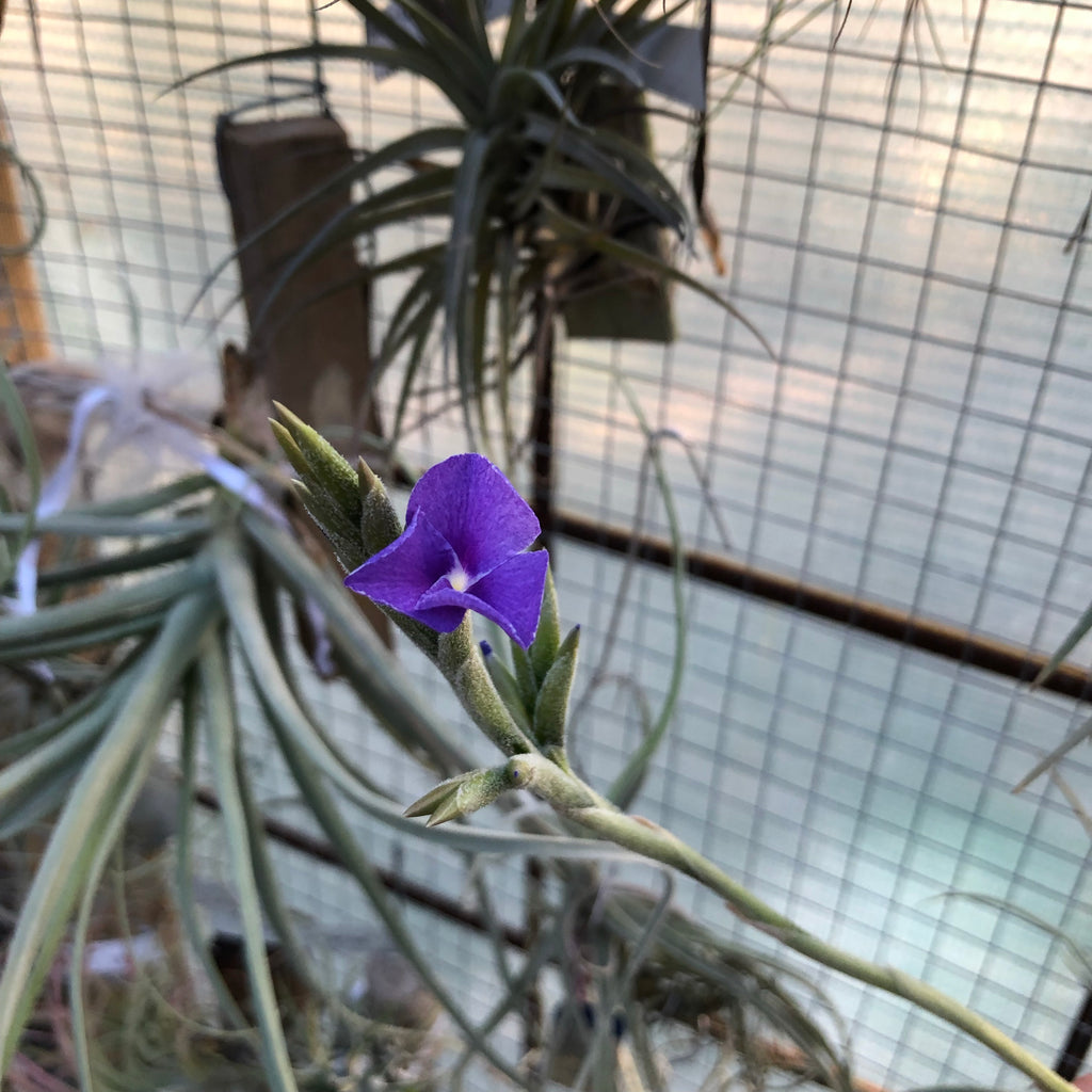 Tillandsia - Streptocarpa (Fragrant)