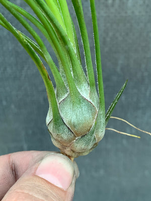 Tillandsia - Disticha 'Green' (Fragrant)