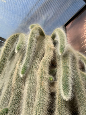 Monkey Tail Cactus - EP2