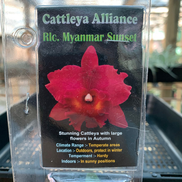 Orchid - Cattleya Alliance 'Rlc. Myanmar Sunset'