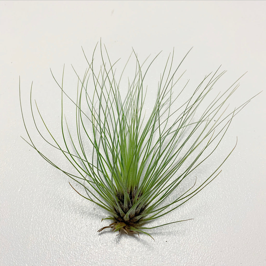 Tillandsia - Filifolia