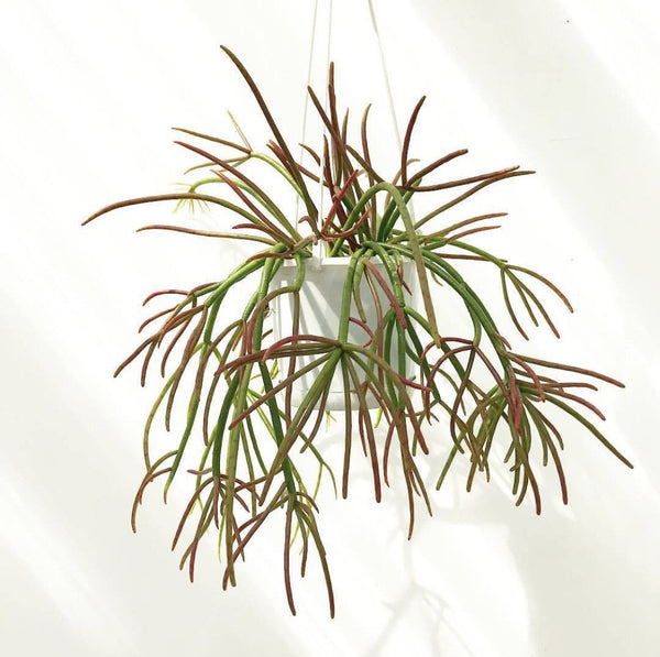 "Rhipsalis Crythrocarpa ""Red Coral"" - R41"