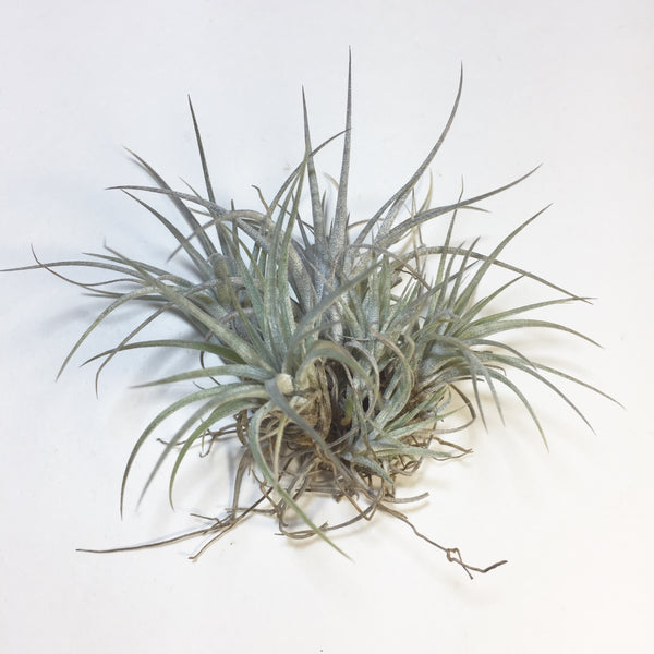 Tillandsia - Pringlei (Wholesale)