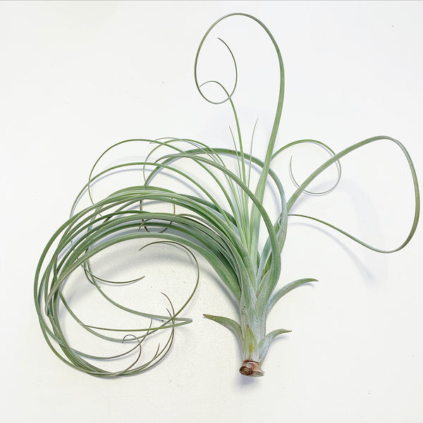 Tillandsia - Exserta NEW