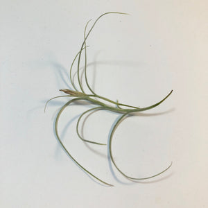 Tillandsia - Kimberly