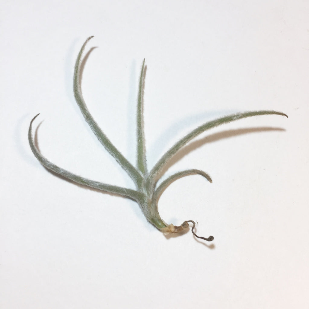 Tillandsia - Crocata Yellow (SCENTED)