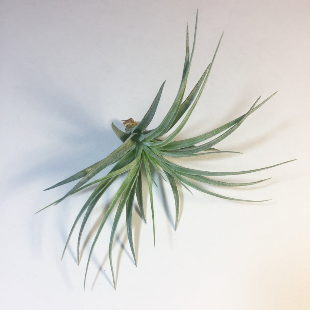Tillandsia - Cotton Candy