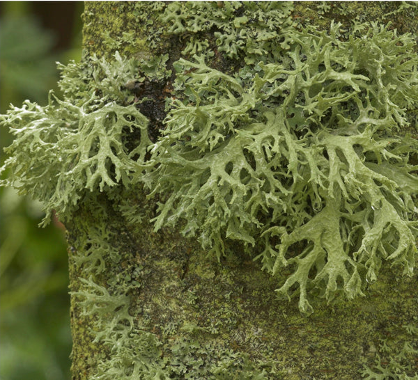 Evernia Lichen (NEW)