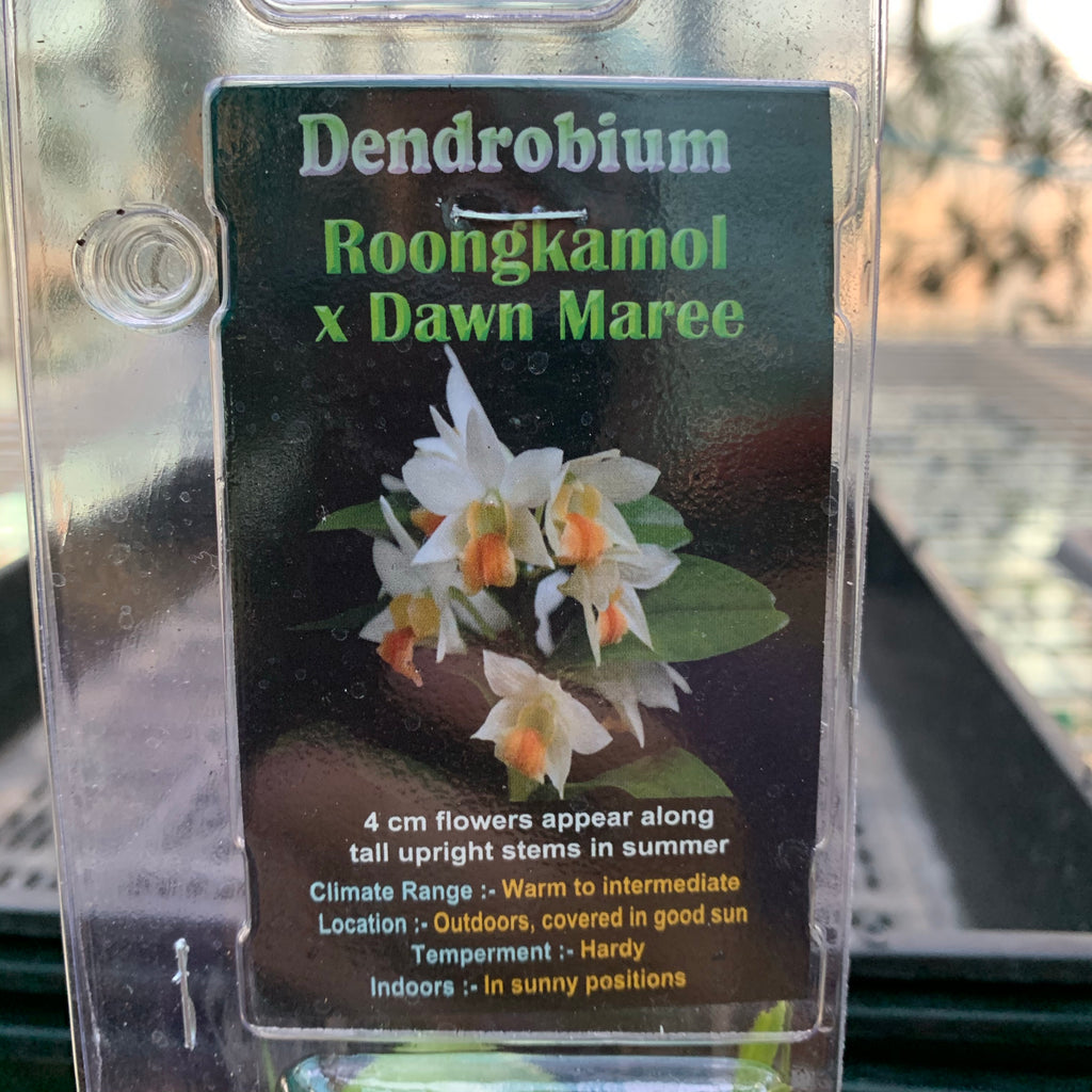 Orchid - Dendrobium 'Roongkamol X Dawn Maree'