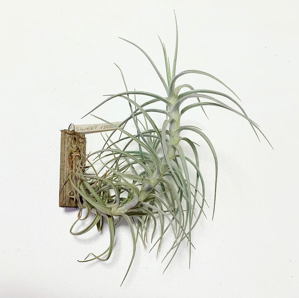 Tillandsia - Sweet Isabel