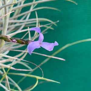 Tillandsia - Bandensis 'Large Form' NEW (Fragrant)