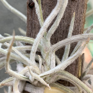 Tillandsia - Crocata Yellow (Fragrant)