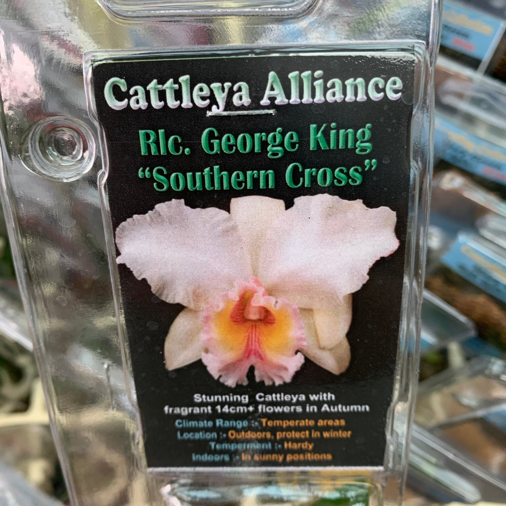 Orchid - Cattleya Alliance 'Rlc. George King Southern Cross'