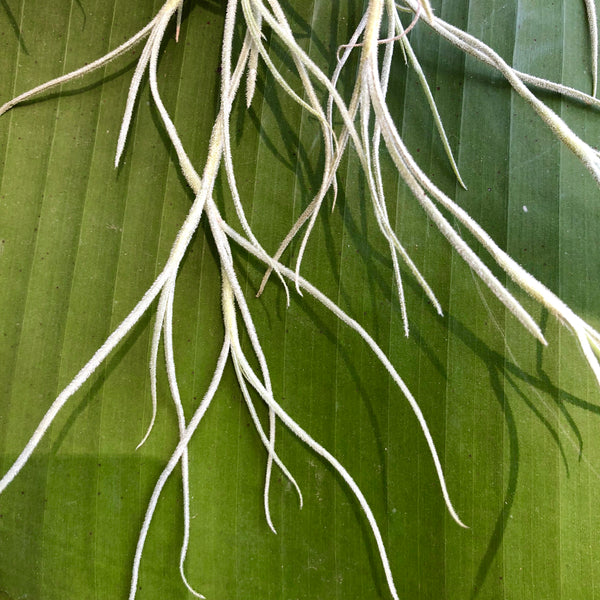 Usneoides 'Giant Form'
