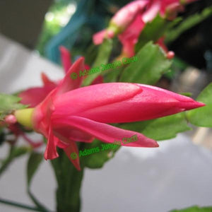Zygocactus Strawberry Fantasy - Z6