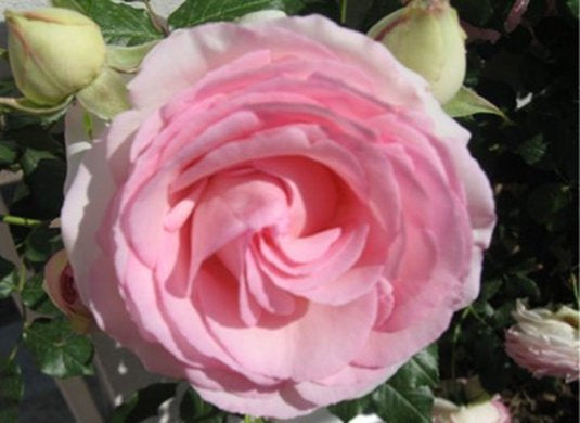 French Pink Rose