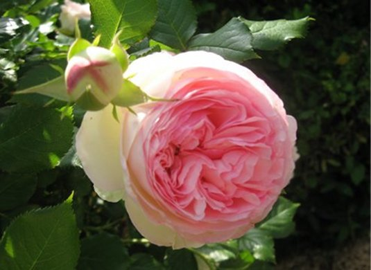 "French Rose ""Pierre de Ronsard"""