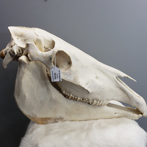 Horse Skulls, XL (CLEARANCE SALE)
