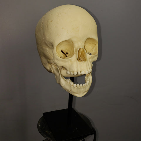 Human Child Skull, Cast With Stand (CAST)
