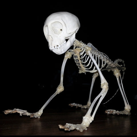 Vervet Monkey Skeleton