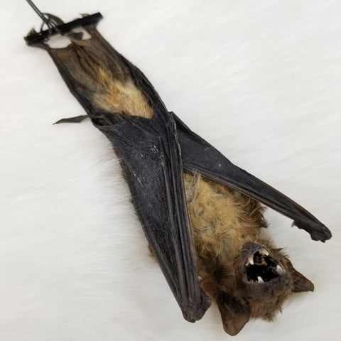 Lesser Asiatic Bat Taxidermy, Hanging