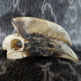 White-Thighed Hornbill Skulls, Male
