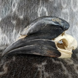 Black Casqued Hornbill Skulls, Male