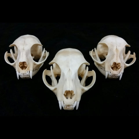 Domestic Cat Skulls (SALE)