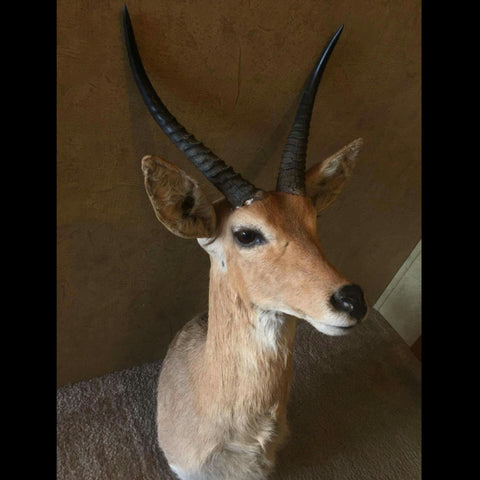 Skullstore Buy Real Taxidermy Mounts Rugs And Forms