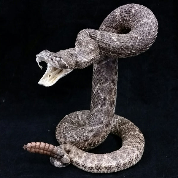 Rattlesnake Taxidermy Mount, XL