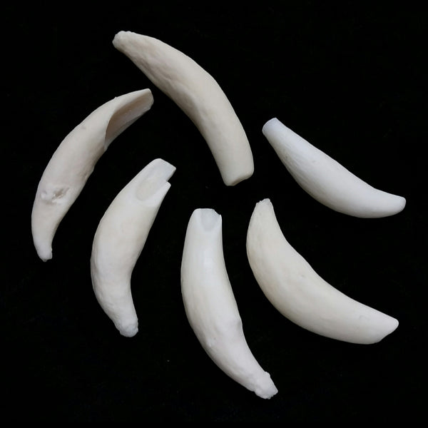 Beluga Whale Teeth