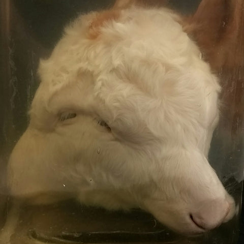 Two-Faced Cow Head