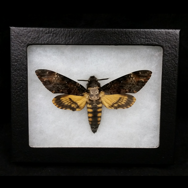 Death's Head Hawkmoths