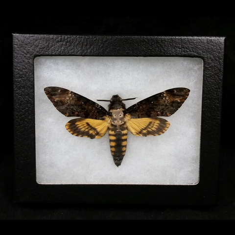 Death's Head Hawkmoths (SALE)