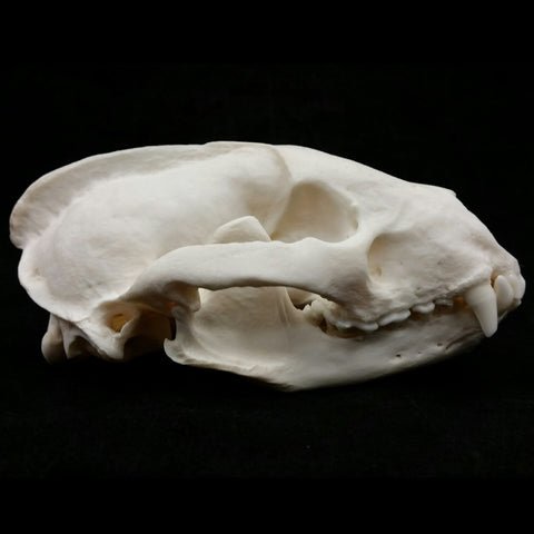 European Badger Skull, A