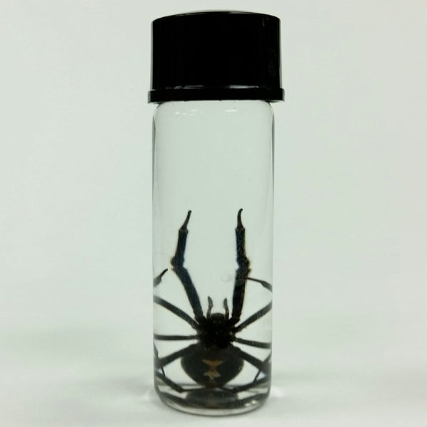 Black Widow Spiders, Wet Specimens