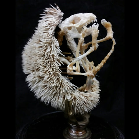 African Pygmy Hedgehog Skeleton