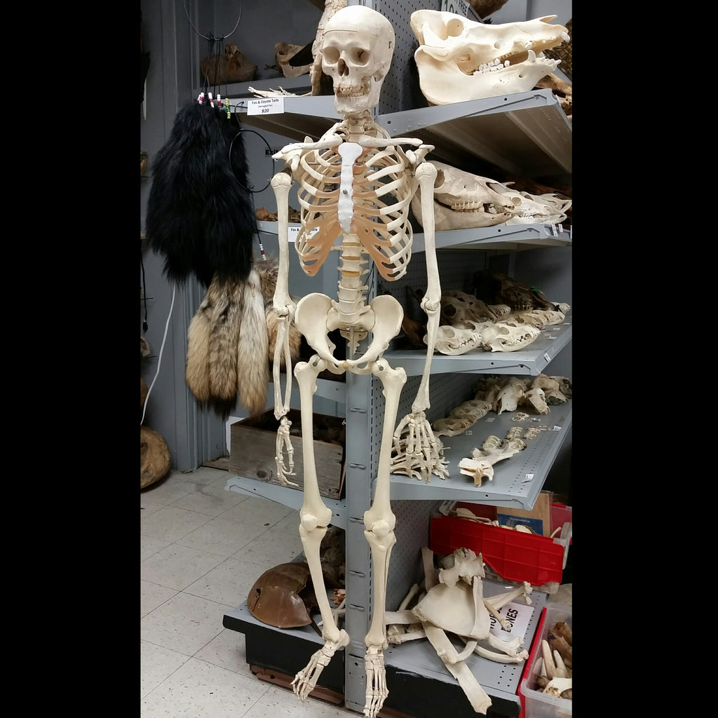 articulated human skeleton, male cast – skullstore, Skeleton