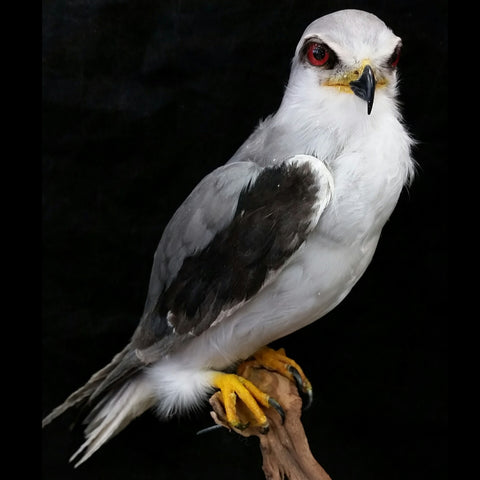 Black-Winged Kite Taxidermy