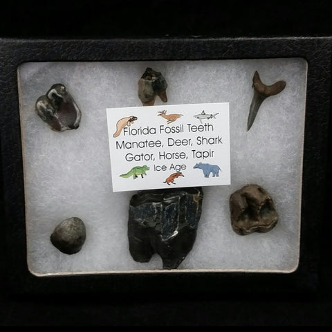 Fossil Tooth Set, Florida