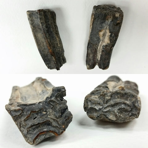 Horse Tooth, Fossilized